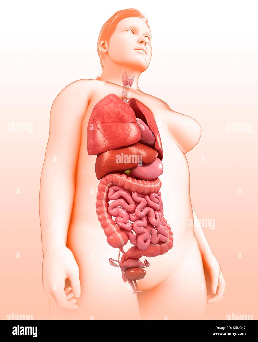 Illustration Of Female Body Organs Stock Photo 158396343 Alamy