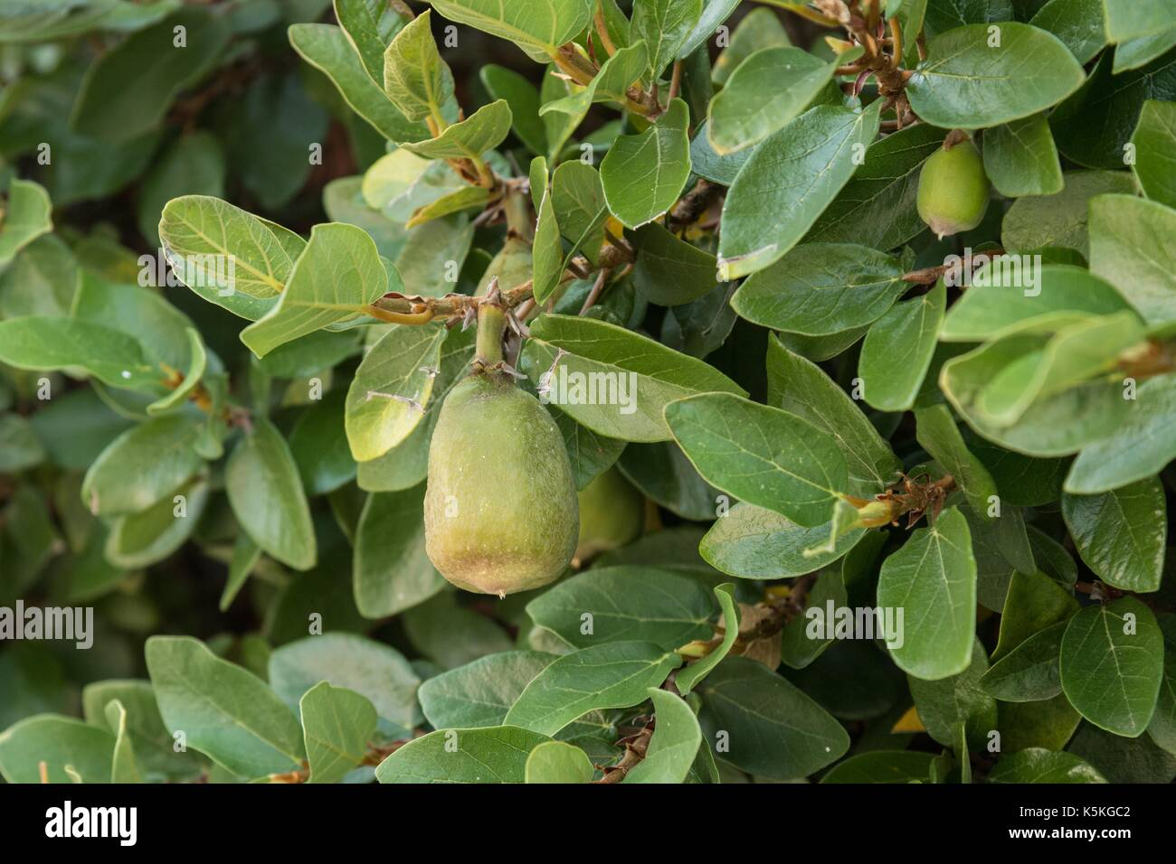 Creeping Fig Stock Photos Amp Creeping Fig Stock Images Alamy