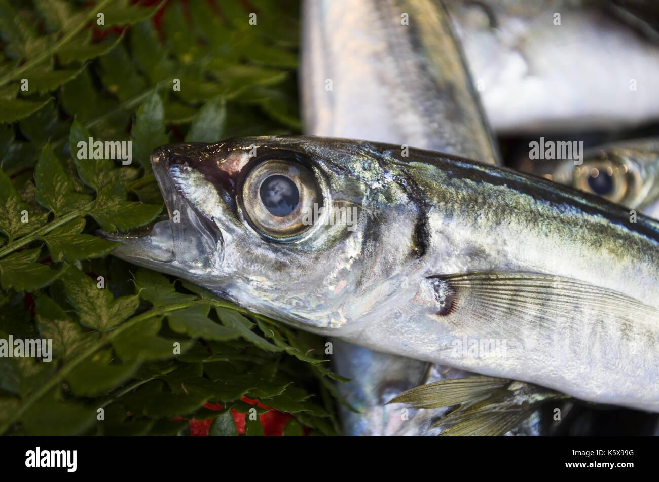 Horse mackerel stock photos horse mackerel stock images for 99 5 the fish