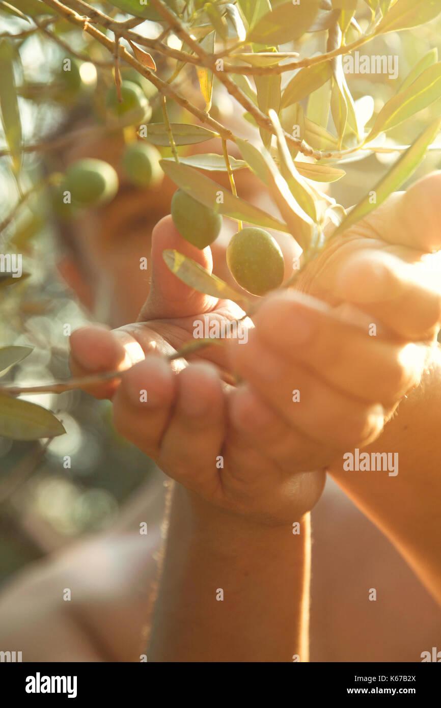 Farmer is harvesting and picking olives on olive farm. Gardener in ...