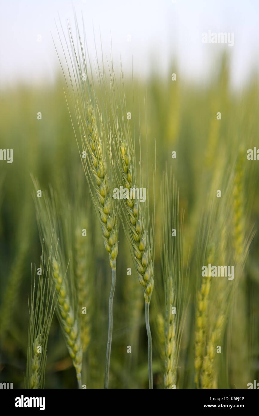 wheat pakistan According to the latest data released by pakistan bureau of statistics (pbs) national average price of wheat shot up 216 per cent in one year ending on january 10 to rs36250 per 10kg.