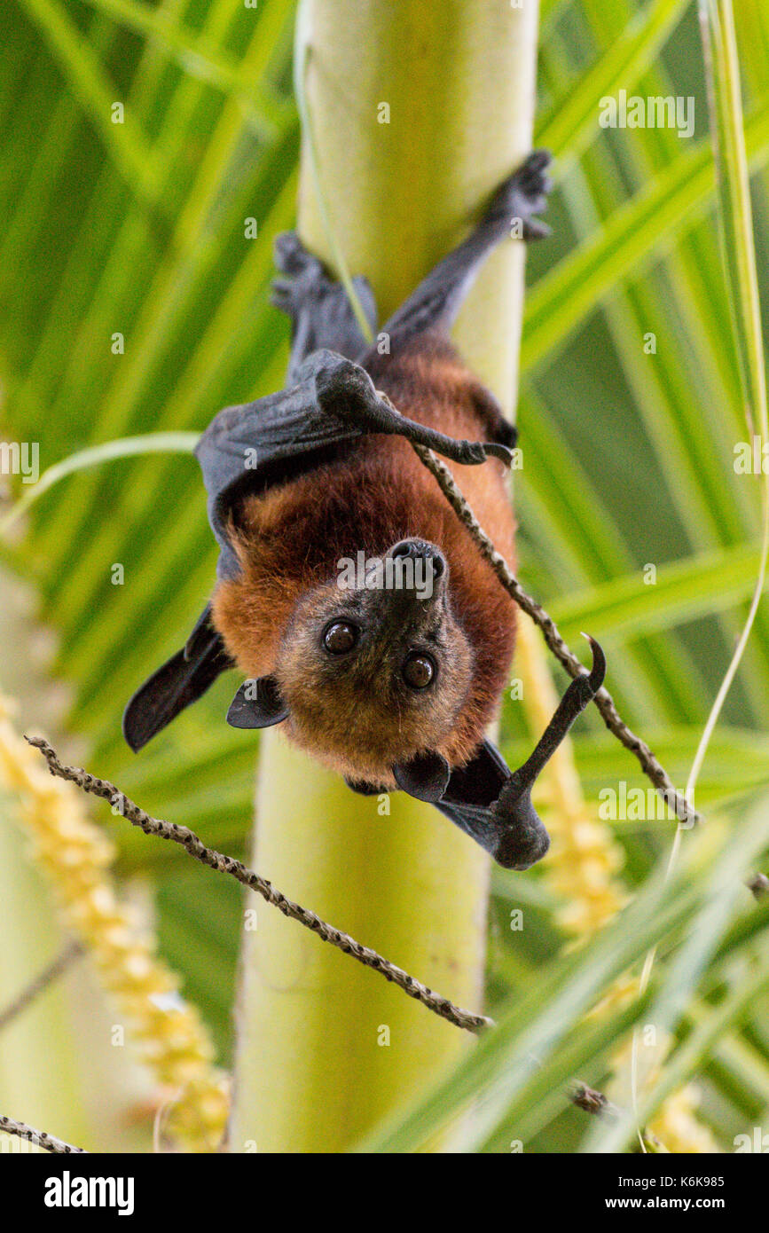 Vampire Bat Stock Photos & Vampire Bat Stock Images - Alamy