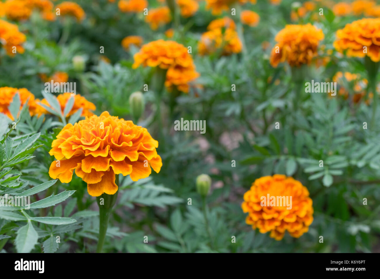 orange and yellow color of marigold flowers in the garden or park ...