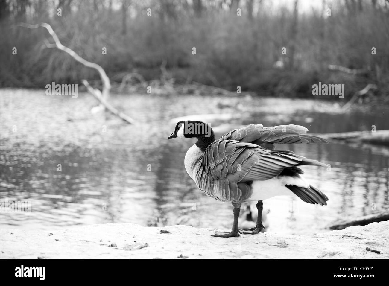 Canada goose north america stock photo 159200441 alamy canada goose north america biocorpaavc Gallery