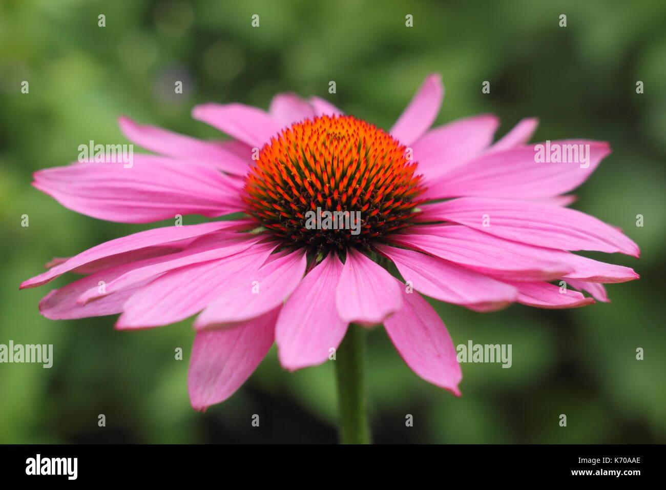Echinacea Purpurea Magnus A Sun Loving Perennial In Full Bloom In