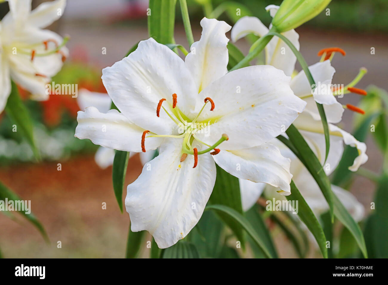 Lily flower of white color bloom in the garden stock photo royalty lily flower of white color bloom in the garden izmirmasajfo Choice Image