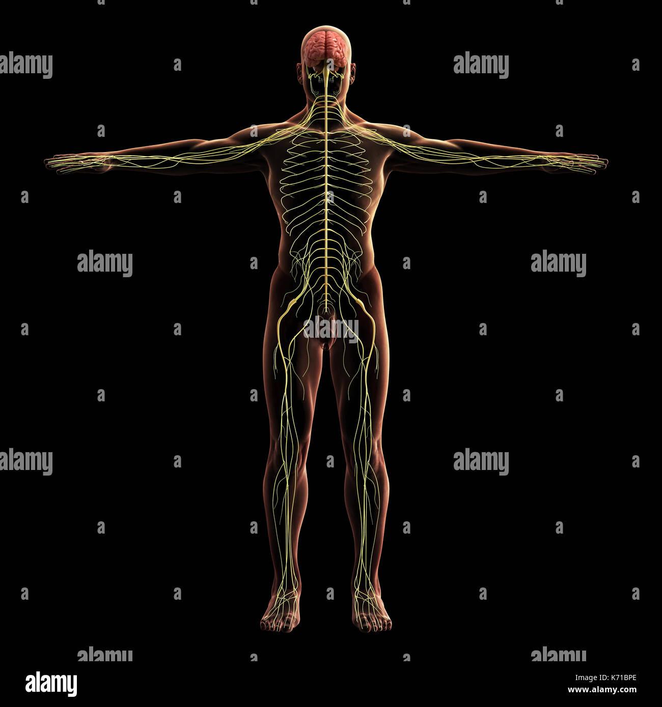 Digital Model Of Nervous System 3d Rendering Black Background