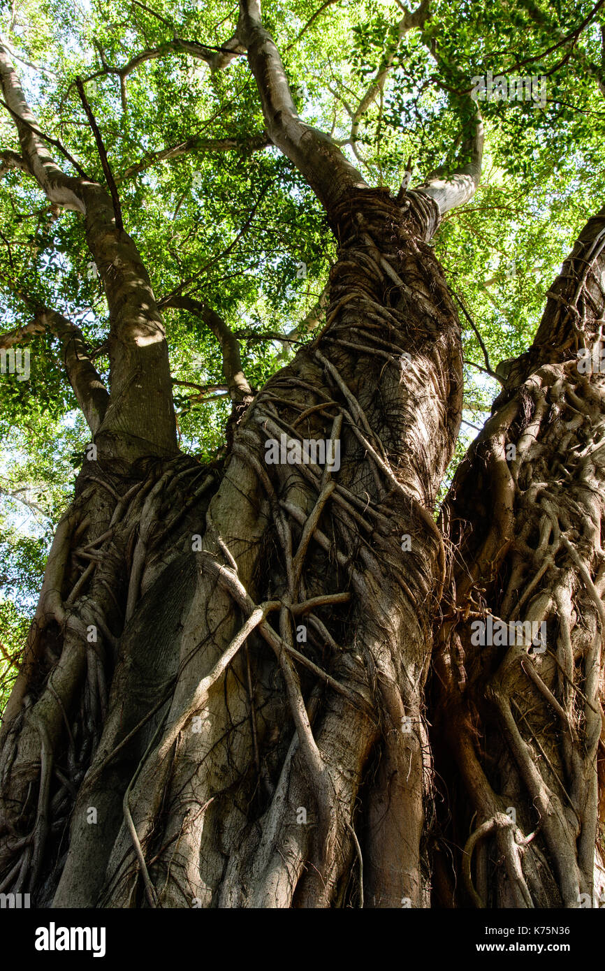 Color outdoor image of a tree with massive roots and green leaves ...