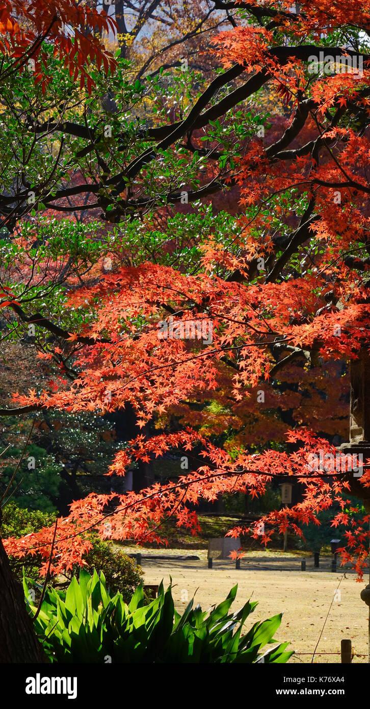 Red maple leaves under sun lights at Rikugien gardens in Tokyo Stock ...