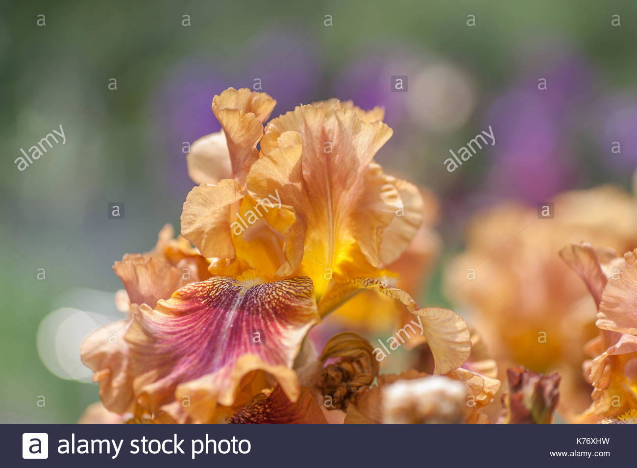 Red iris flower iridaceae stock photos red iris flower iridaceae tall bearded iris autumn leaves in garden in sunny day flower patterns reverse bitone pronofoot35fo Image collections