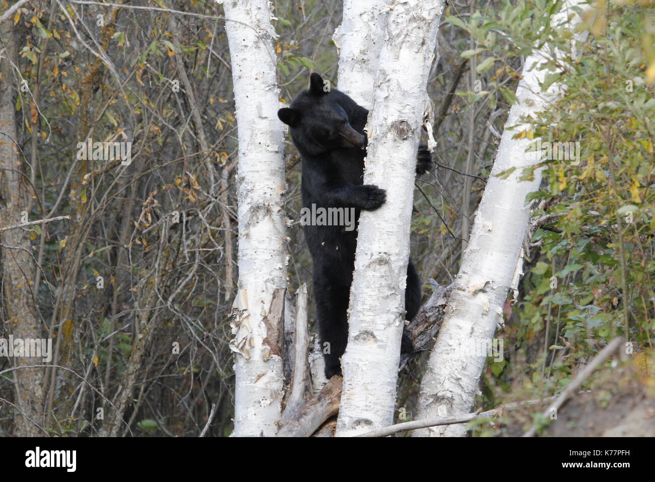 Black bear standing and chewing birch bark trees - Stock Image