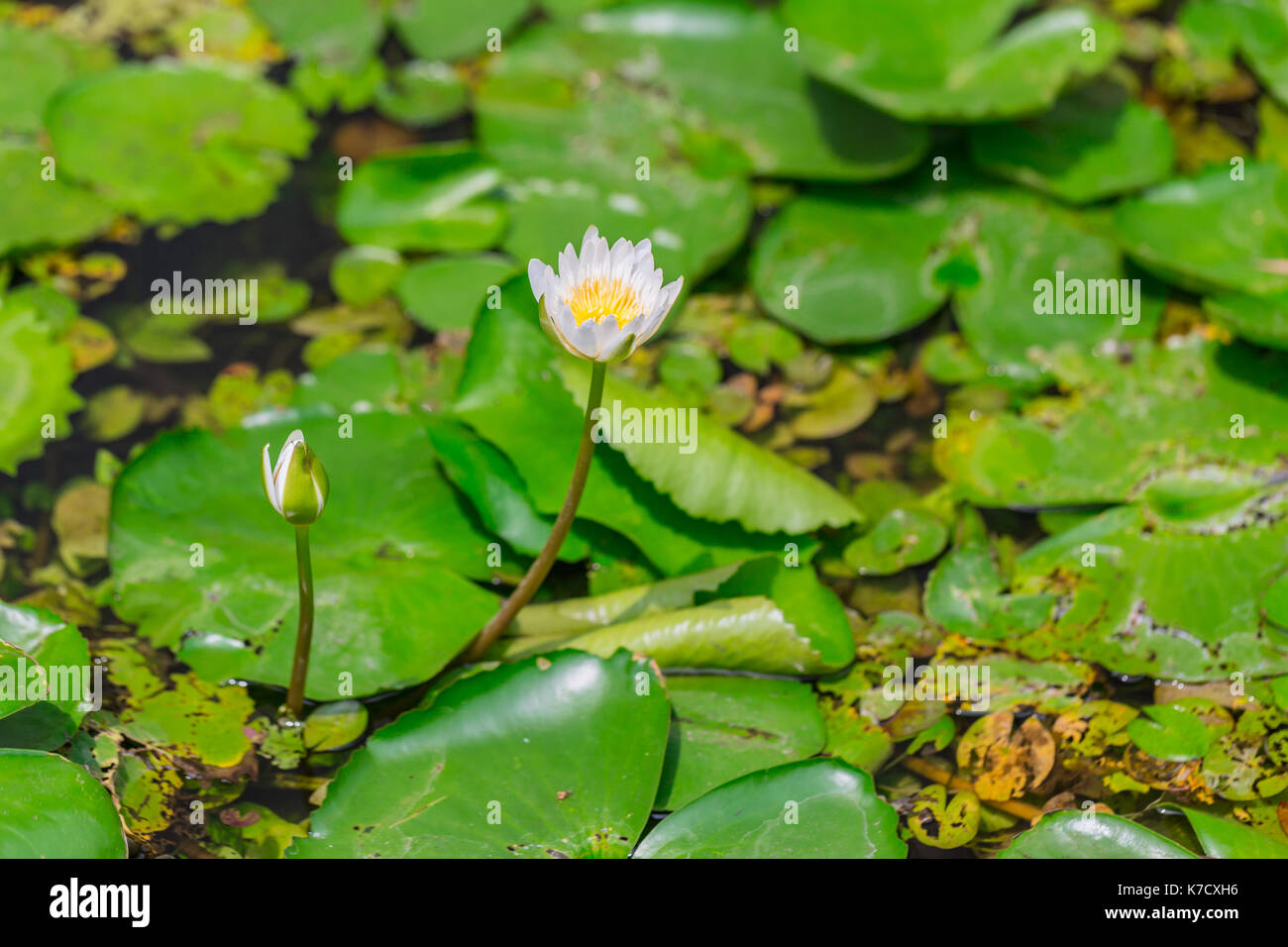 Small White Lotus Water Lily With Cover Of Green Leaf Background In