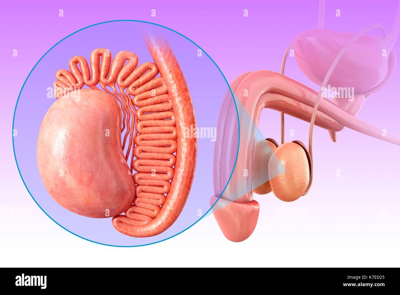 Illustration of male testis anatomy Stock Photo: 159513485 - Alamy