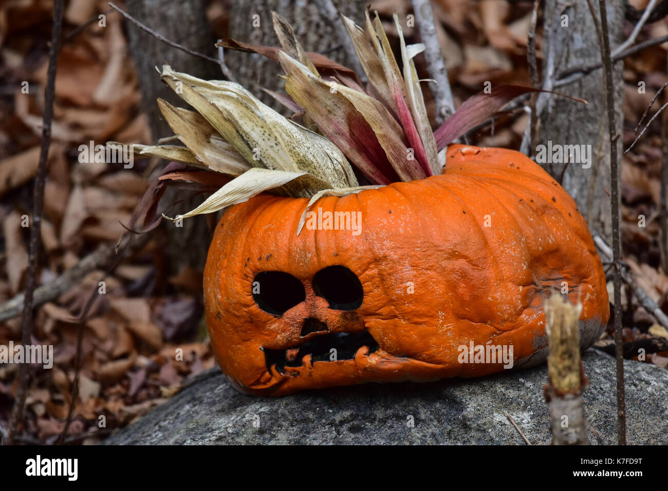 discarded halloween pumpkin, cucurbita pepo, sitting on a rock in