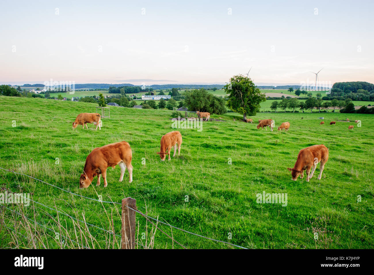 herd eating grass stock photos u0026 herd eating grass stock images