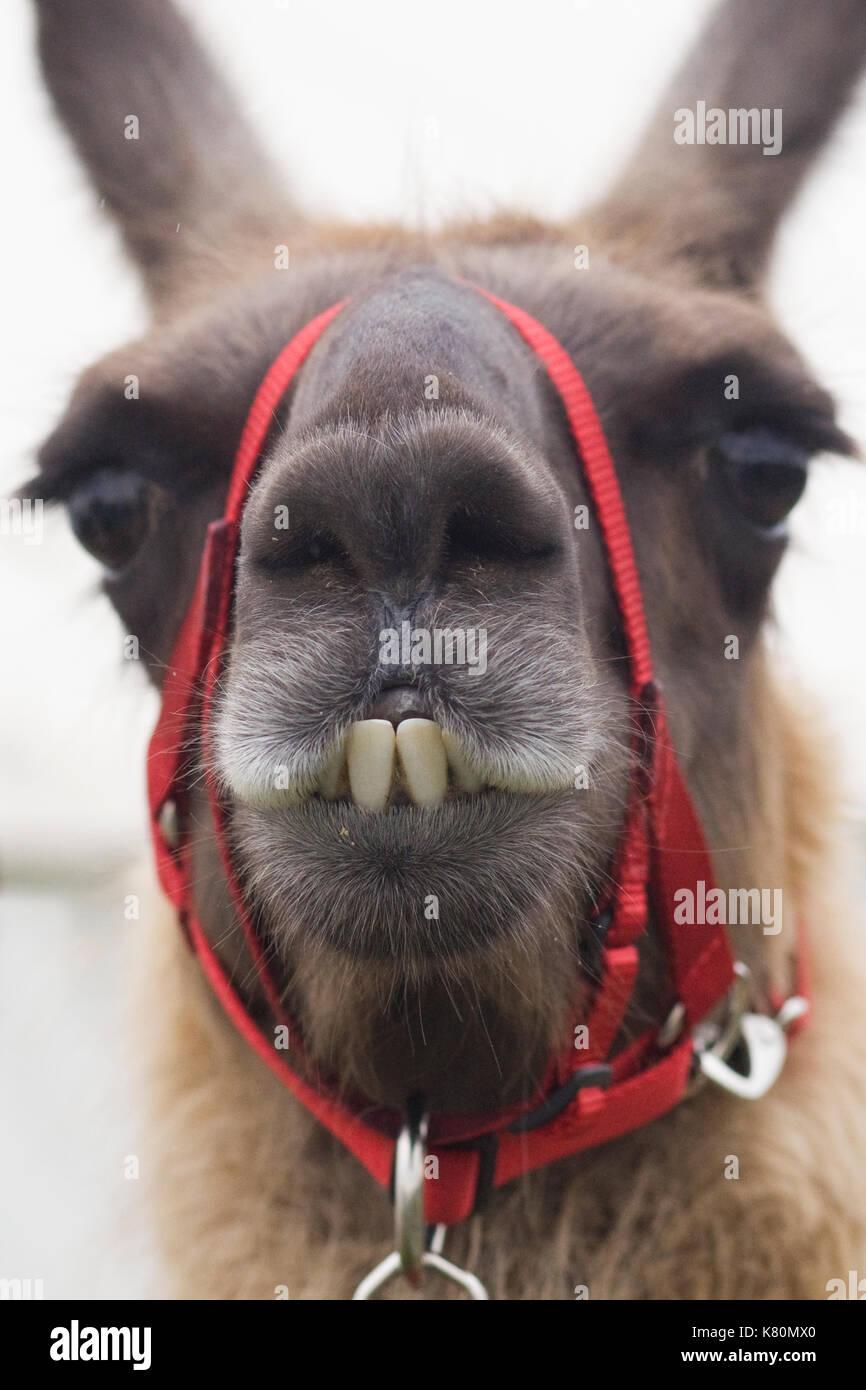 Buck teeth animals