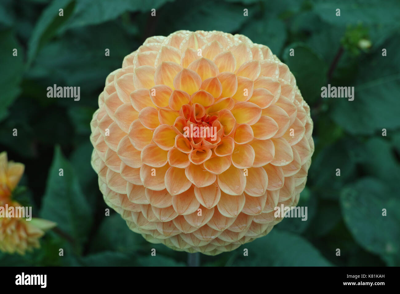 Salmon Orange Dahlia Flower On The Plant Beautiful Bouquet Or Stock