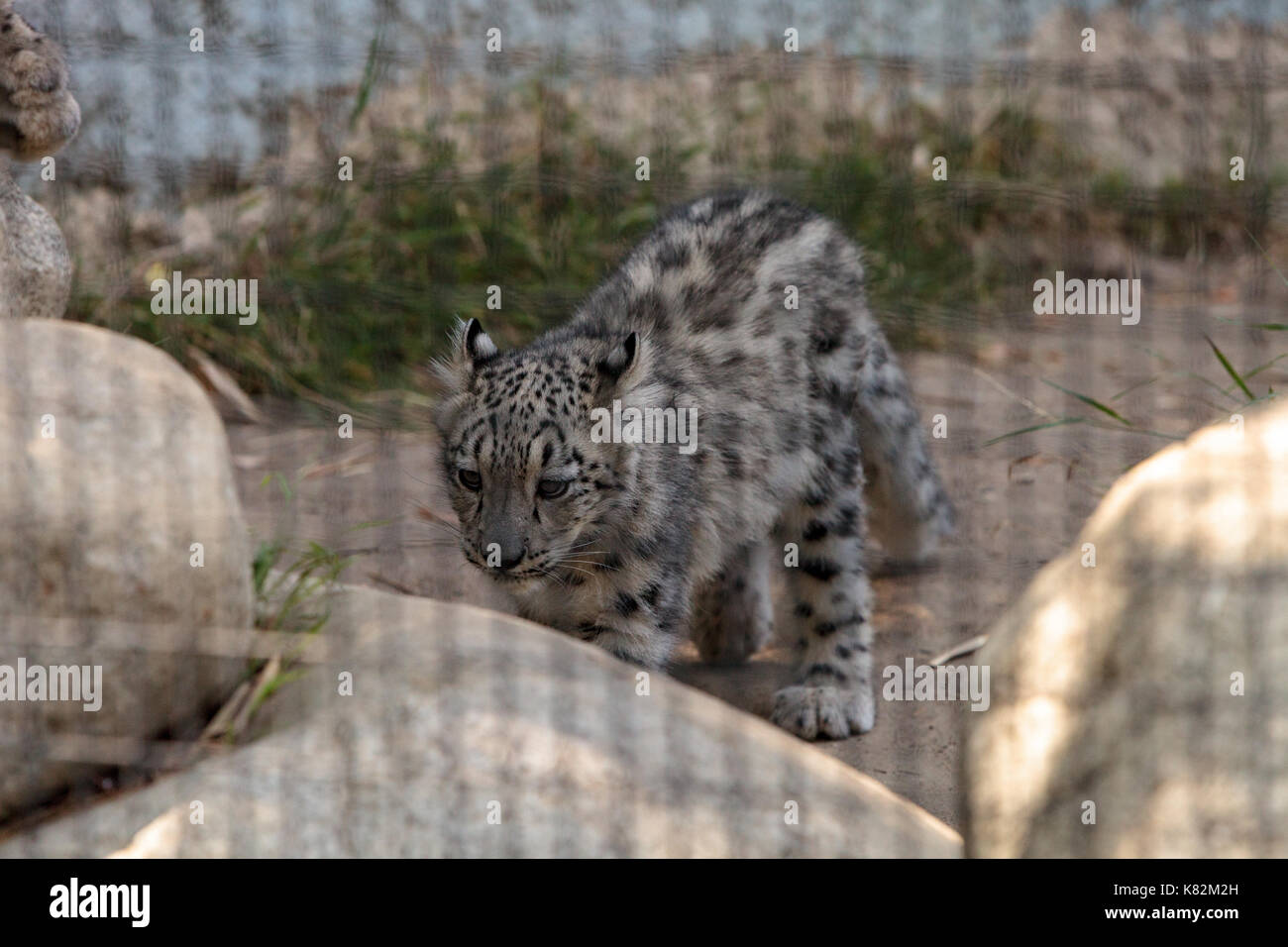 Snow leopard Panthera uncia found in the mountain ranges of