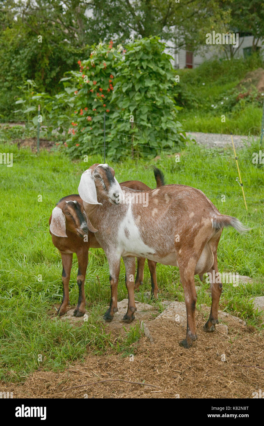Nubian Goats Stock Photos and Images