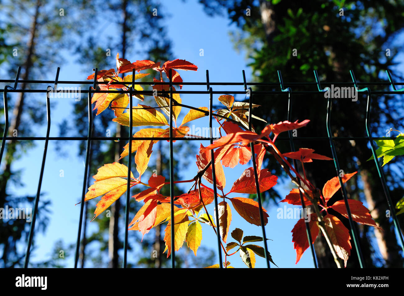 red and orange virginia creeper leaves on wire fence in autumn ...