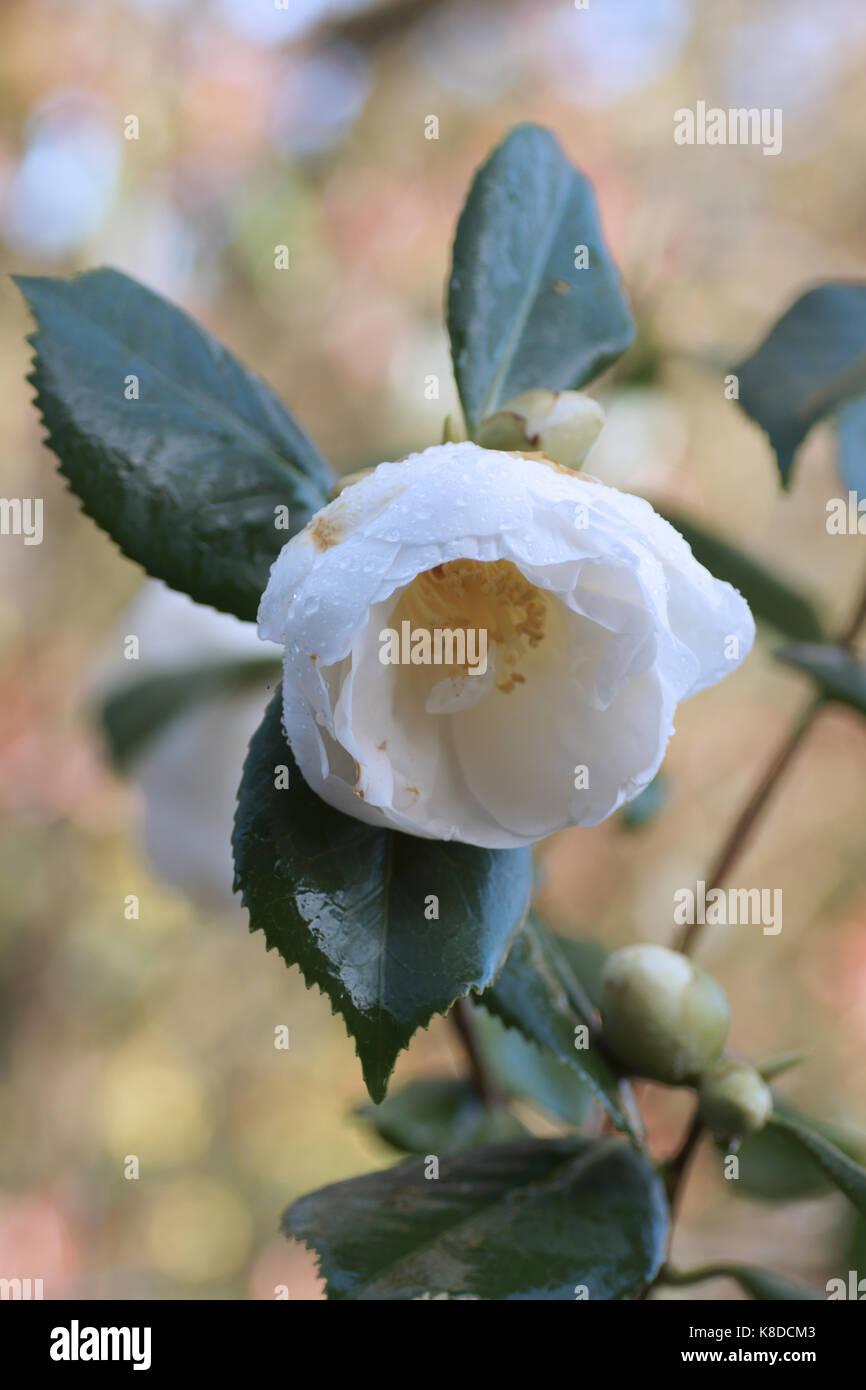 Camellia uk stock photos camellia uk stock images alamy - Camelia fotos ...