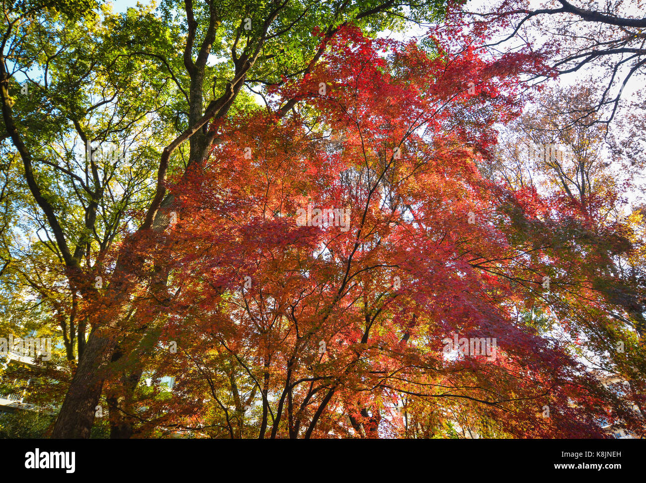 Autumn scenery at the Japanese garden with many maple trees Stock ...