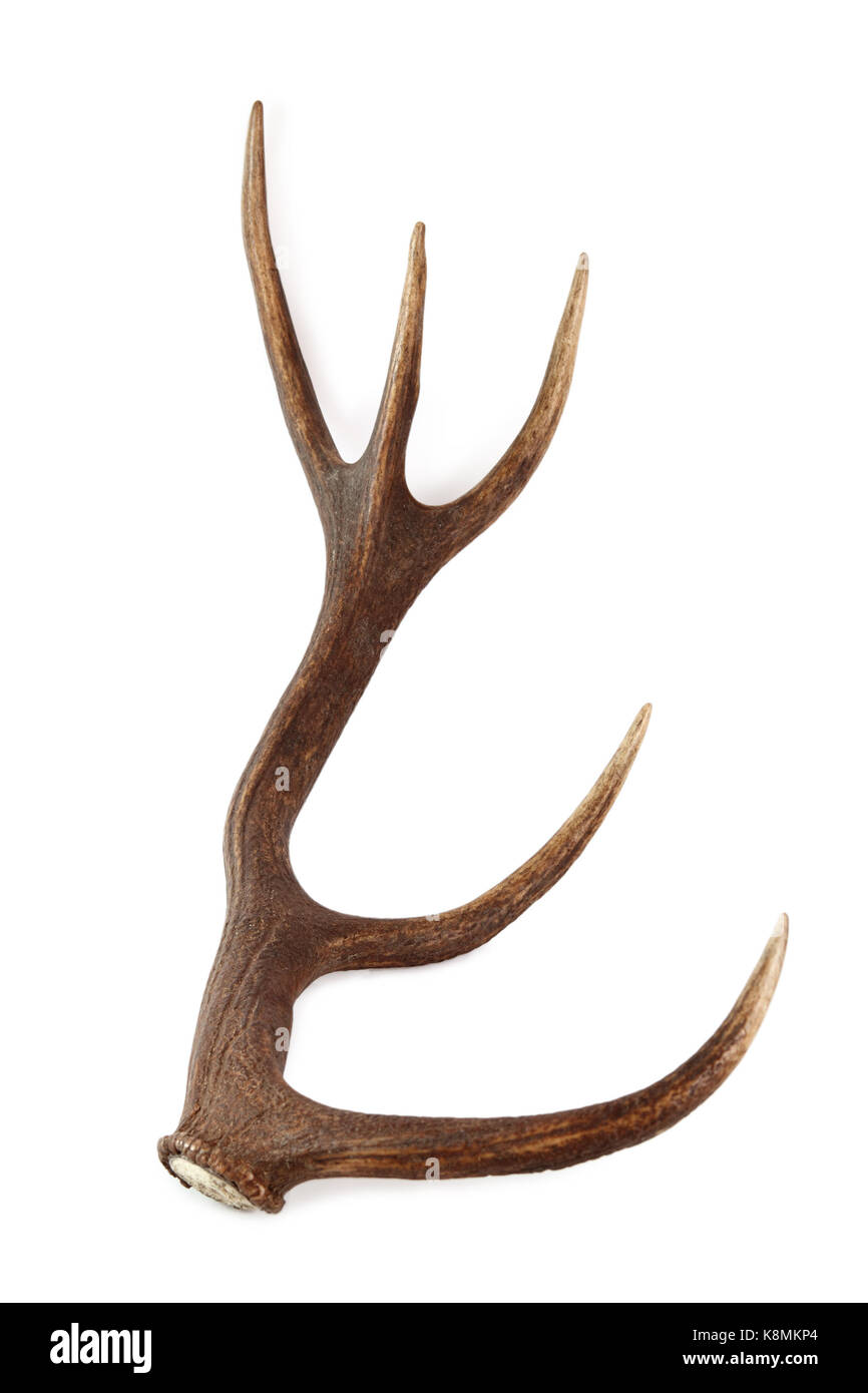 Red deer antler. Isolated on a white background Stock Photo ...