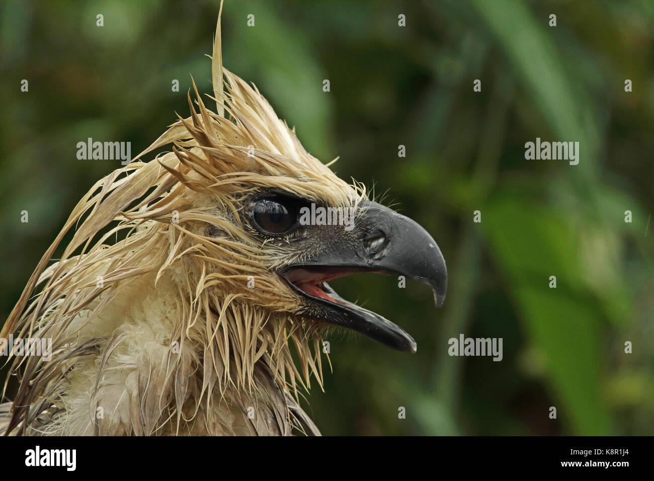 Harpy Eagle Head | www.pixshark.com - Images Galleries ...