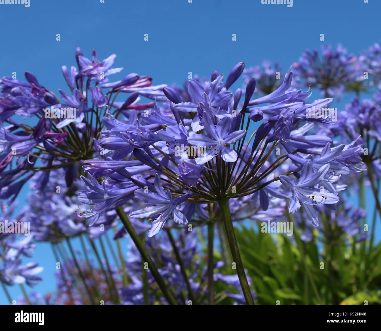 The Bright Blue Flowers Of Agapanthus Also Known As African Lily Or