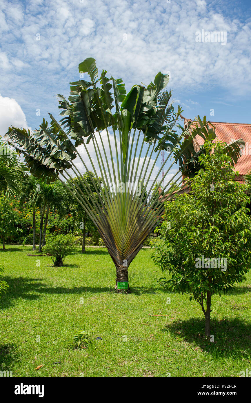 Fans taking pictures with cell phone behind barrier stock photo - A Traveller S Tree Or Travellers Palm Ravenala Madagascariensis Growing With A Fan Shape In
