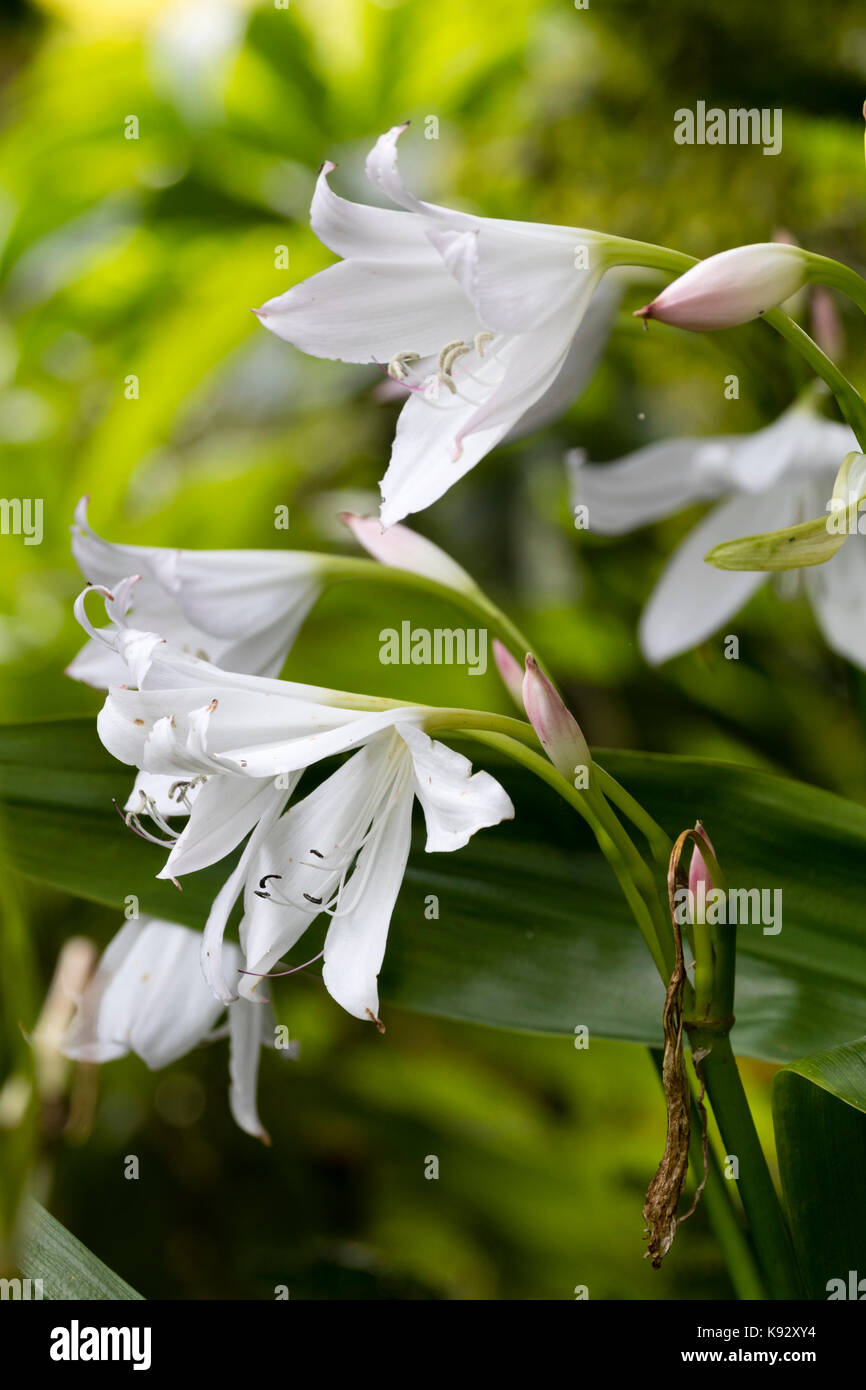 White Late Summer Flowers Of The Half Hardy Ornamental Bulb Crinum