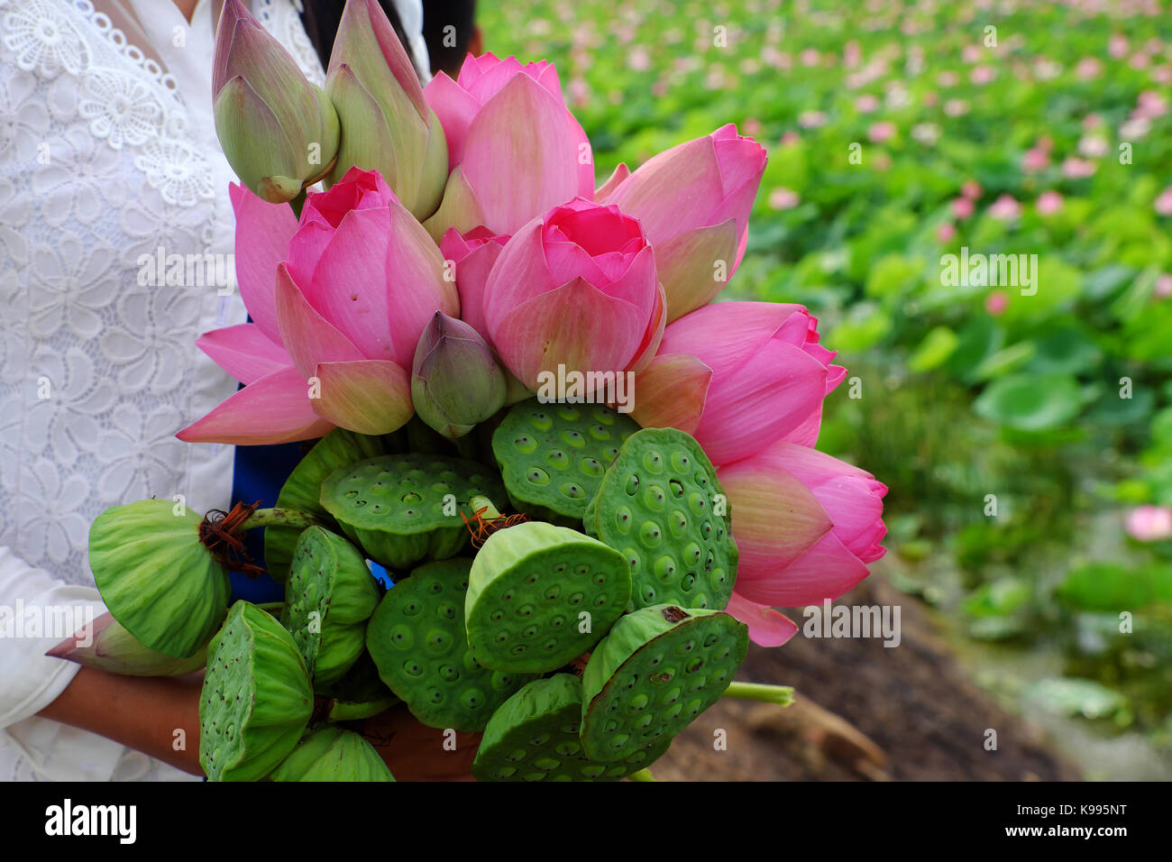 Woman Hand Hold Lotus Flower Bouquet Just Harvest From Lotus Pond