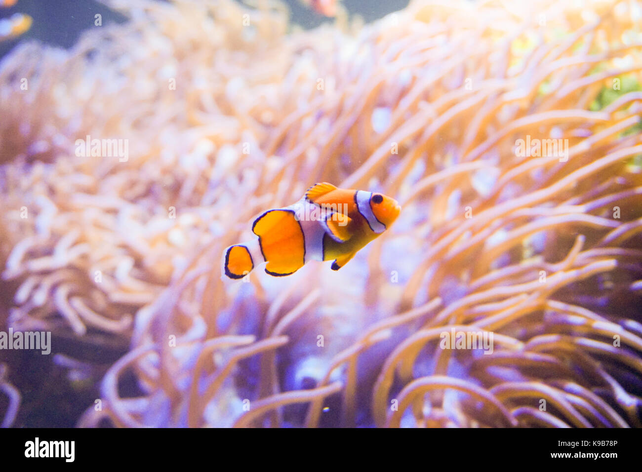 Clown fish white background stock photos clown fish for Blue clown fish