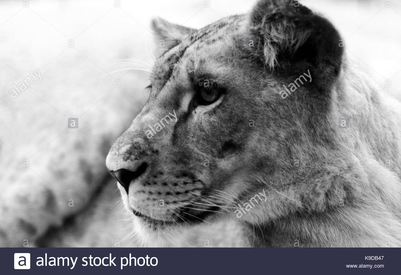 Lioness Black and White Stock Photos & Images - Alamy