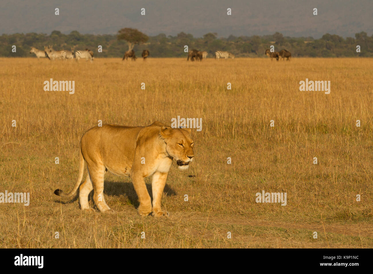 east african lions Lions are a large cat species belonging to the felidae family, and are broadly classified as either african or asian lions.