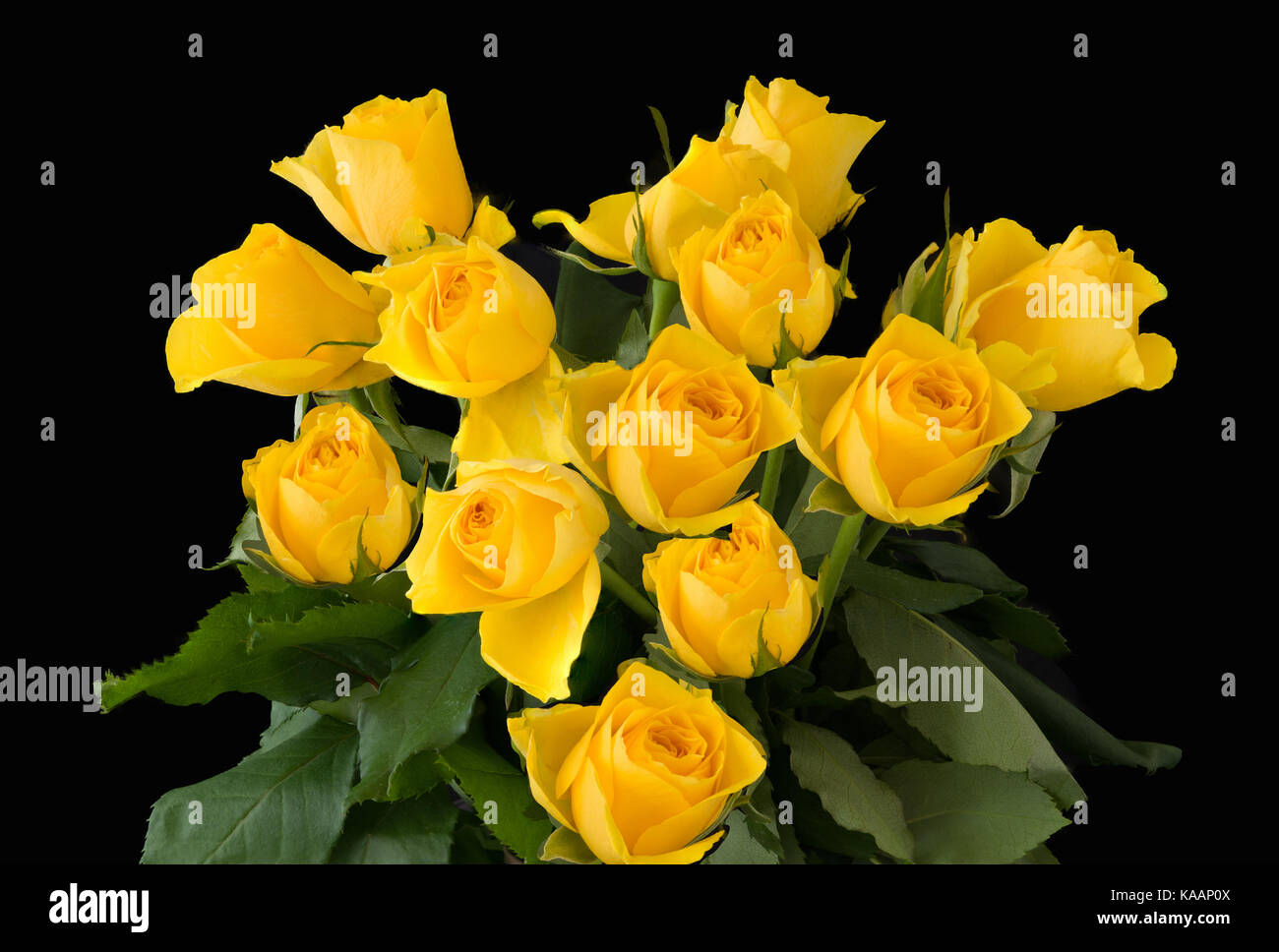 Beautiful yellow rose gardens - A Beautiful Bunch Of Yellow Roses Isolated On A Black Back Ground Stock Image