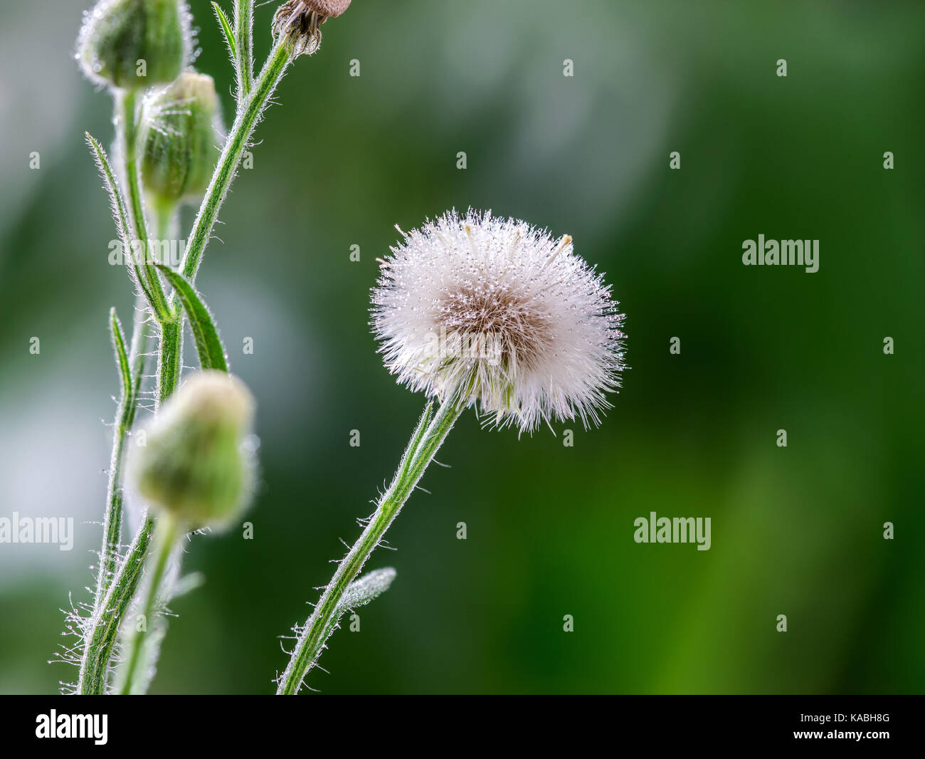 Macro closeup of a white dandelion flower head and seeds on a green macro closeup of a white dandelion flower head and seeds on a green background showing many rain water droplets on the flower seeds and petals mightylinksfo