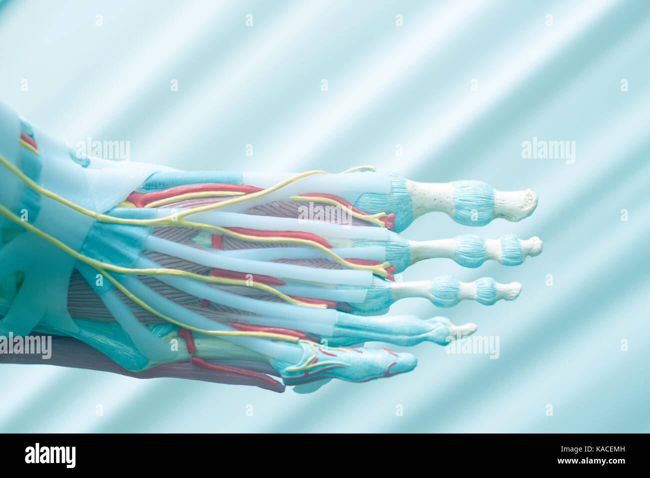 Human foot toes medical teaching model showing bones ligaments Stock ...