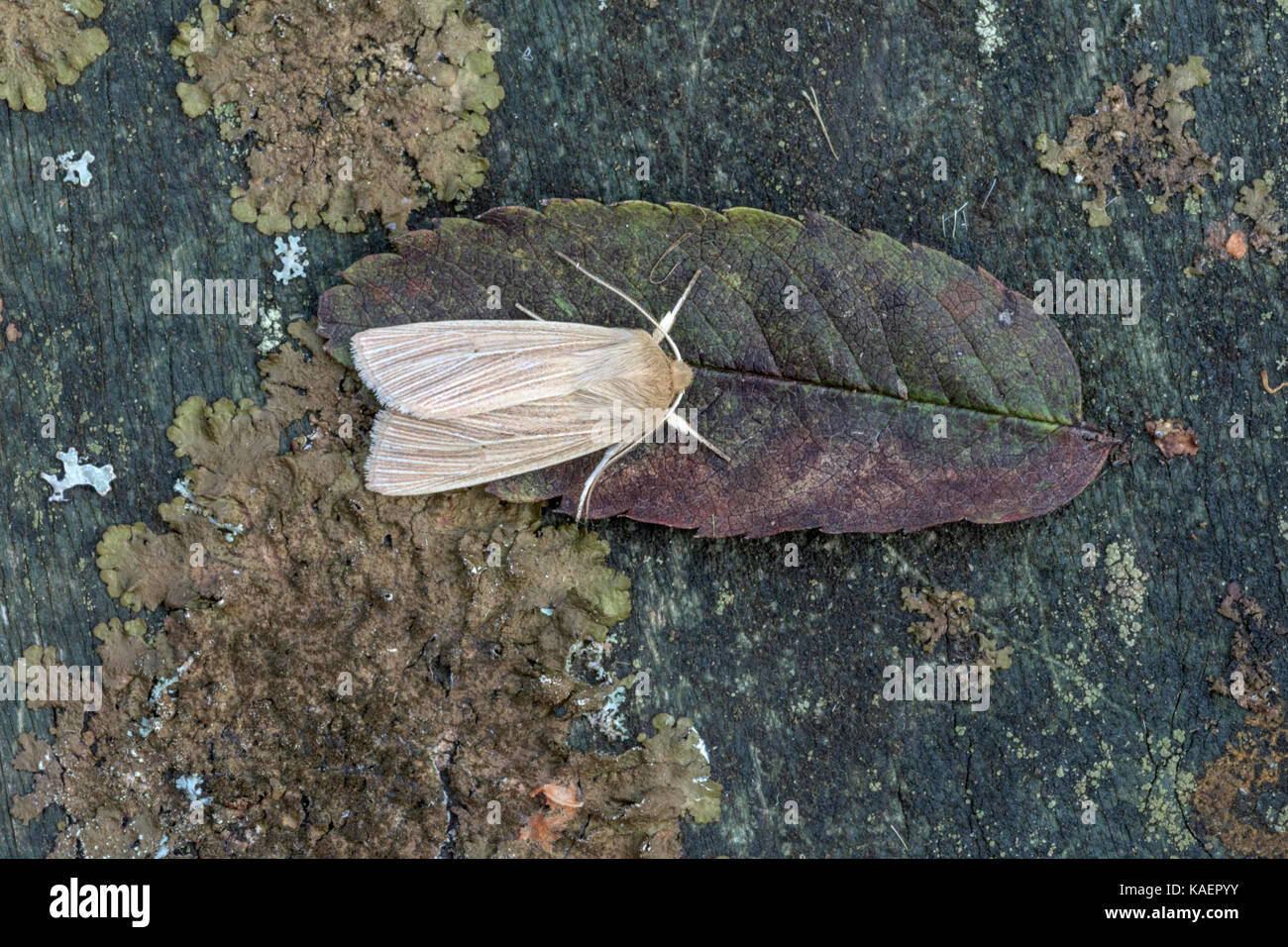 dead leaf moth stock photos dead leaf moth stock images