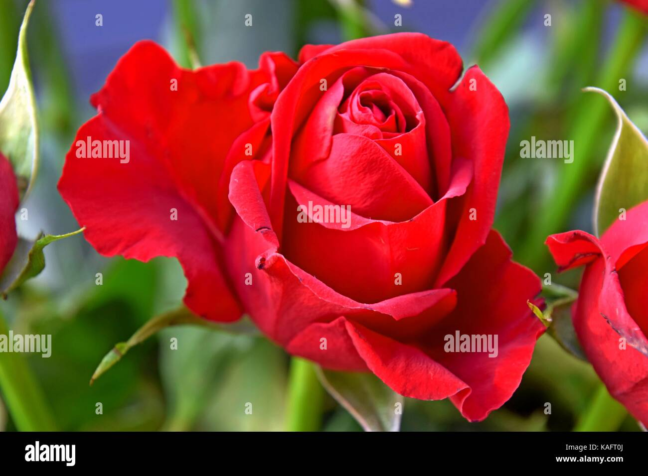 Roses are red perfect red roses symbol of love festivities day roses are red perfect red roses symbol of love festivities day of aniversary buycottarizona