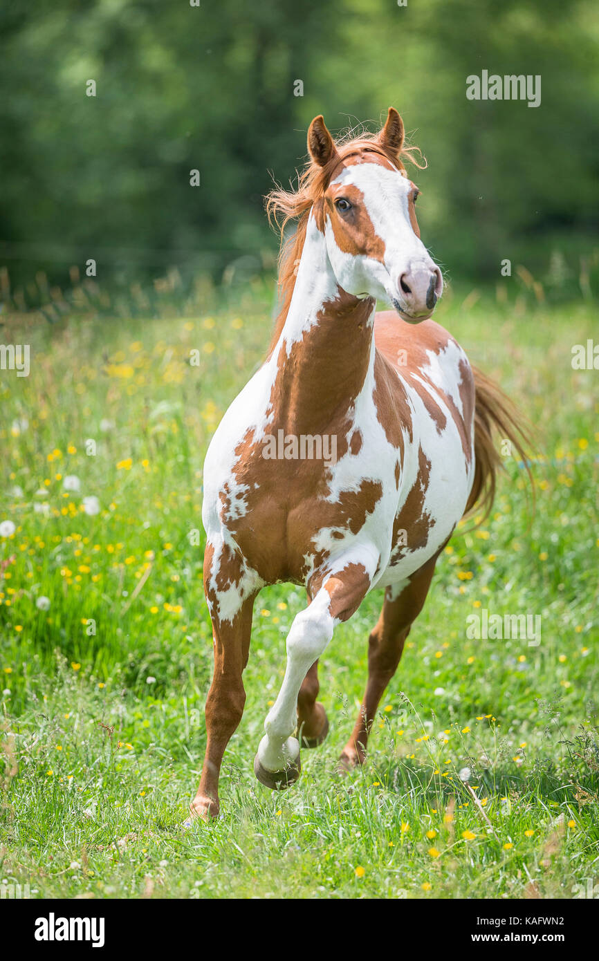 American Paint Horse Stock Photos & American Paint Horse ...