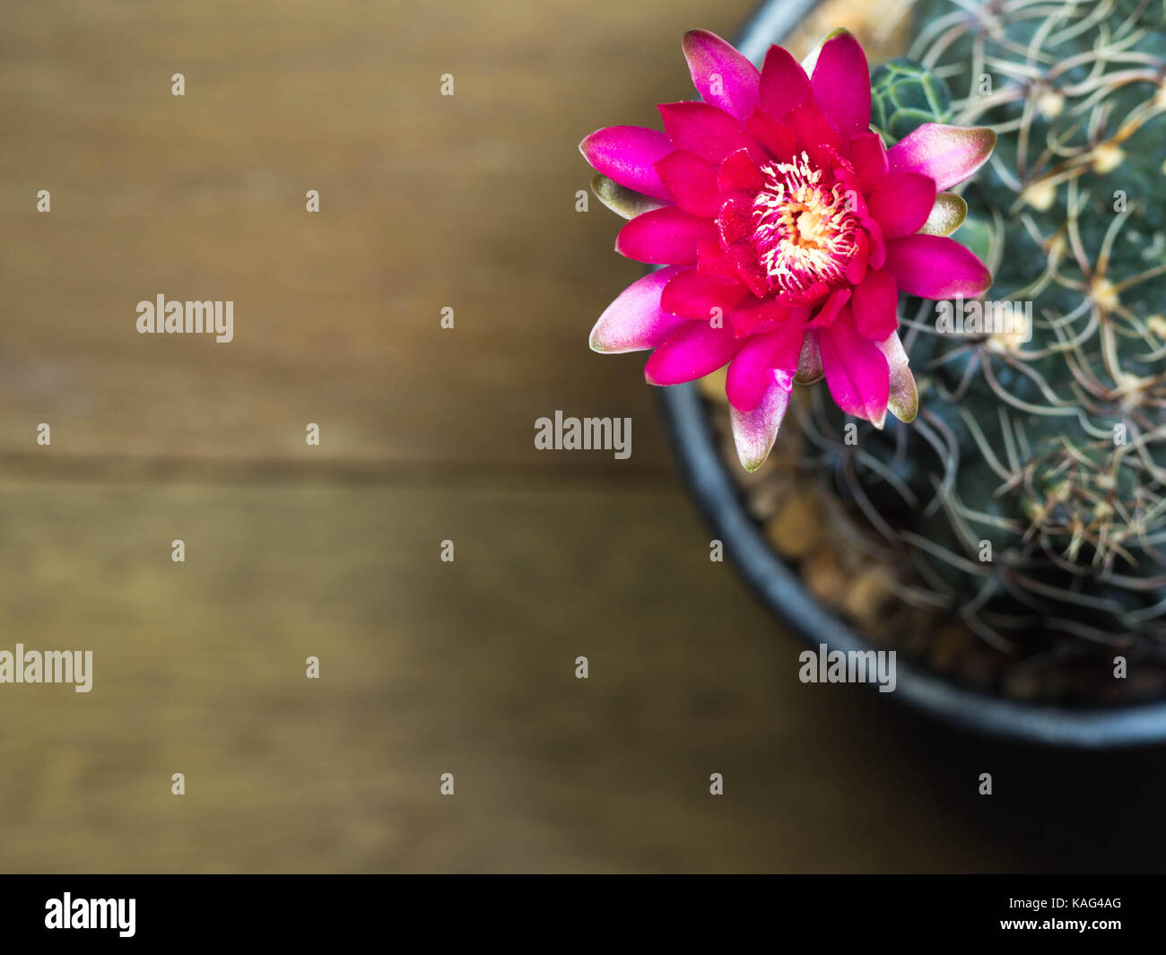 Top View Of Pink Cactus Flower On The Wooden Table Have Copy Space