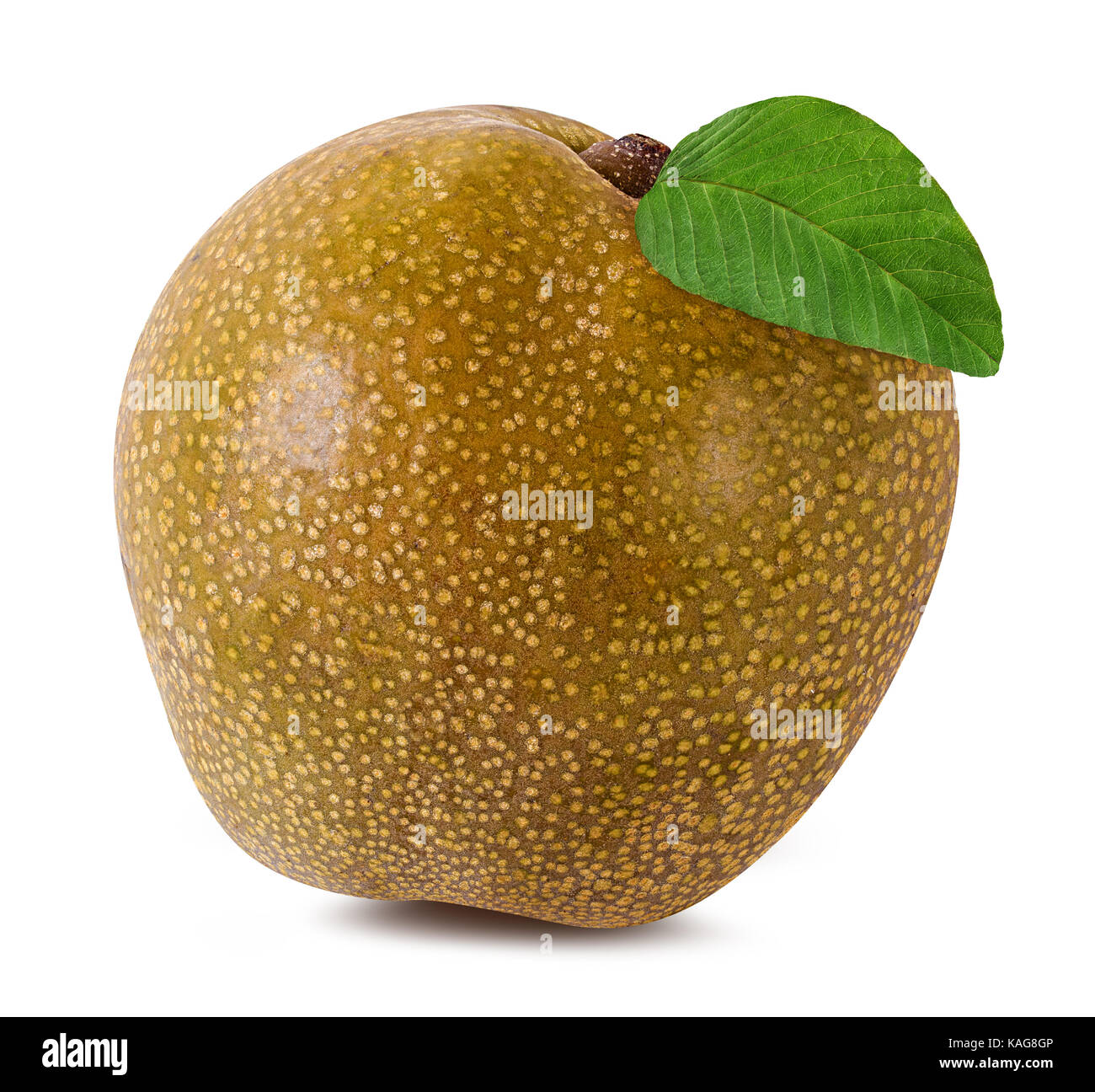 Shinko asian pear edible landscaping - Asian Pear Pyrus Pyrifolia Isolated On White Background Stock Image
