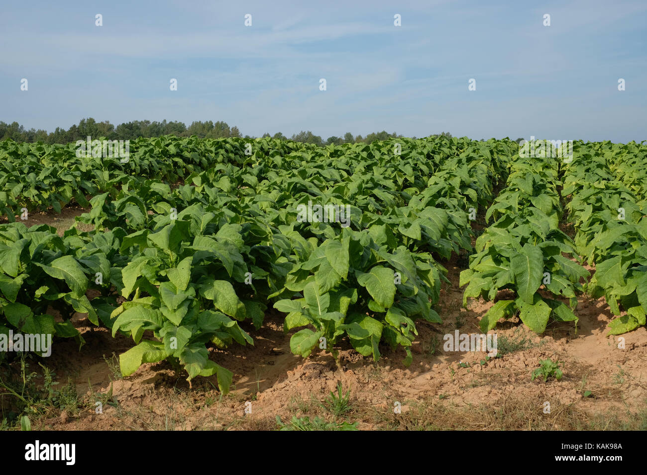 Tobacco farm north carolina stock photos tobacco farm north rows of tobacco plants in a field north carolina tobacco crop stock image sciox Image collections