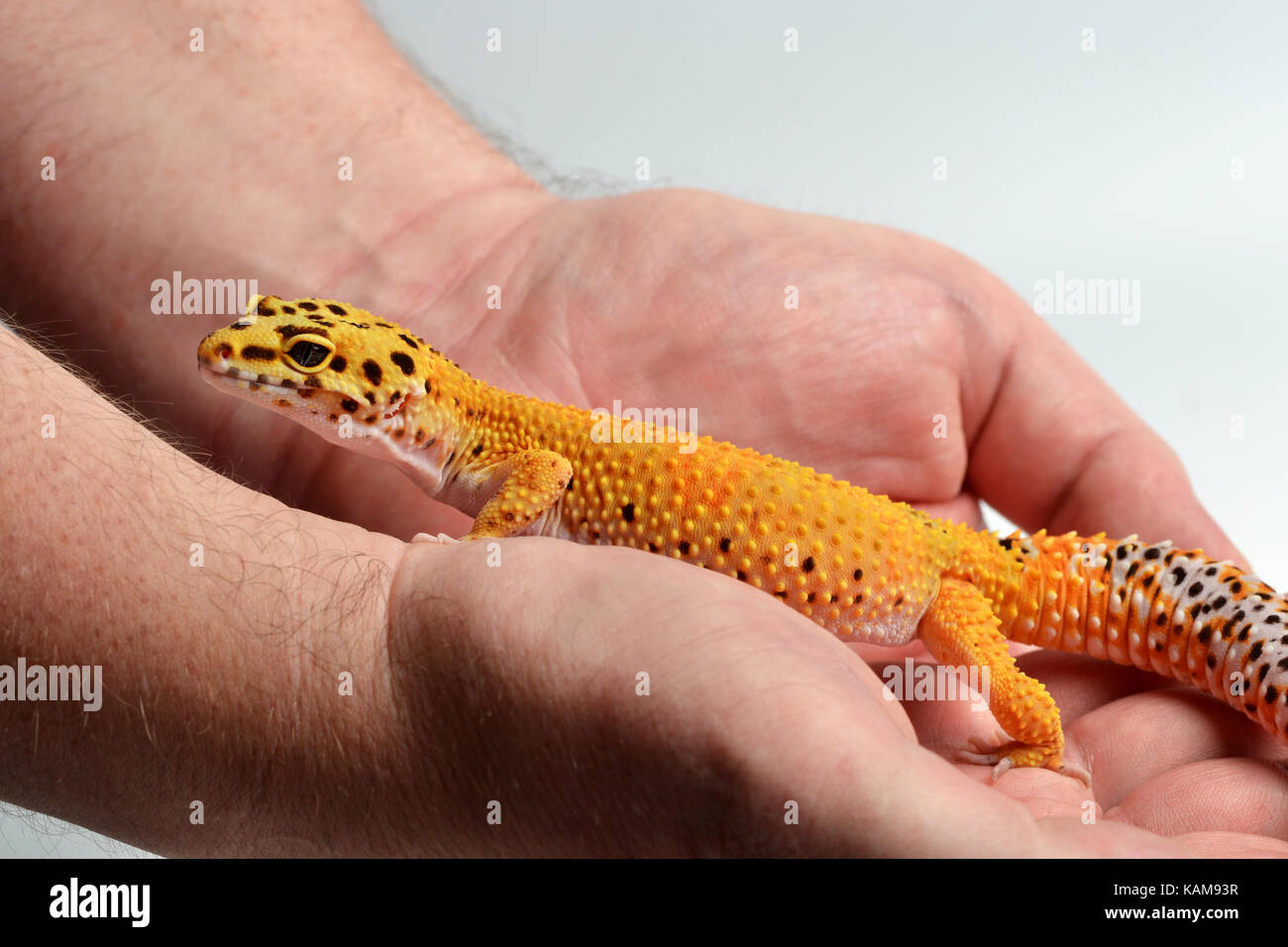 A Leopard Gecko Eublepharis Macularius Being Held In Studio With White Background
