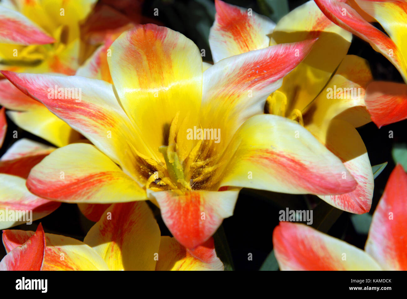 Mass Of Yellow And Pink Tulips Bloom At Garvins Woodland Garden In