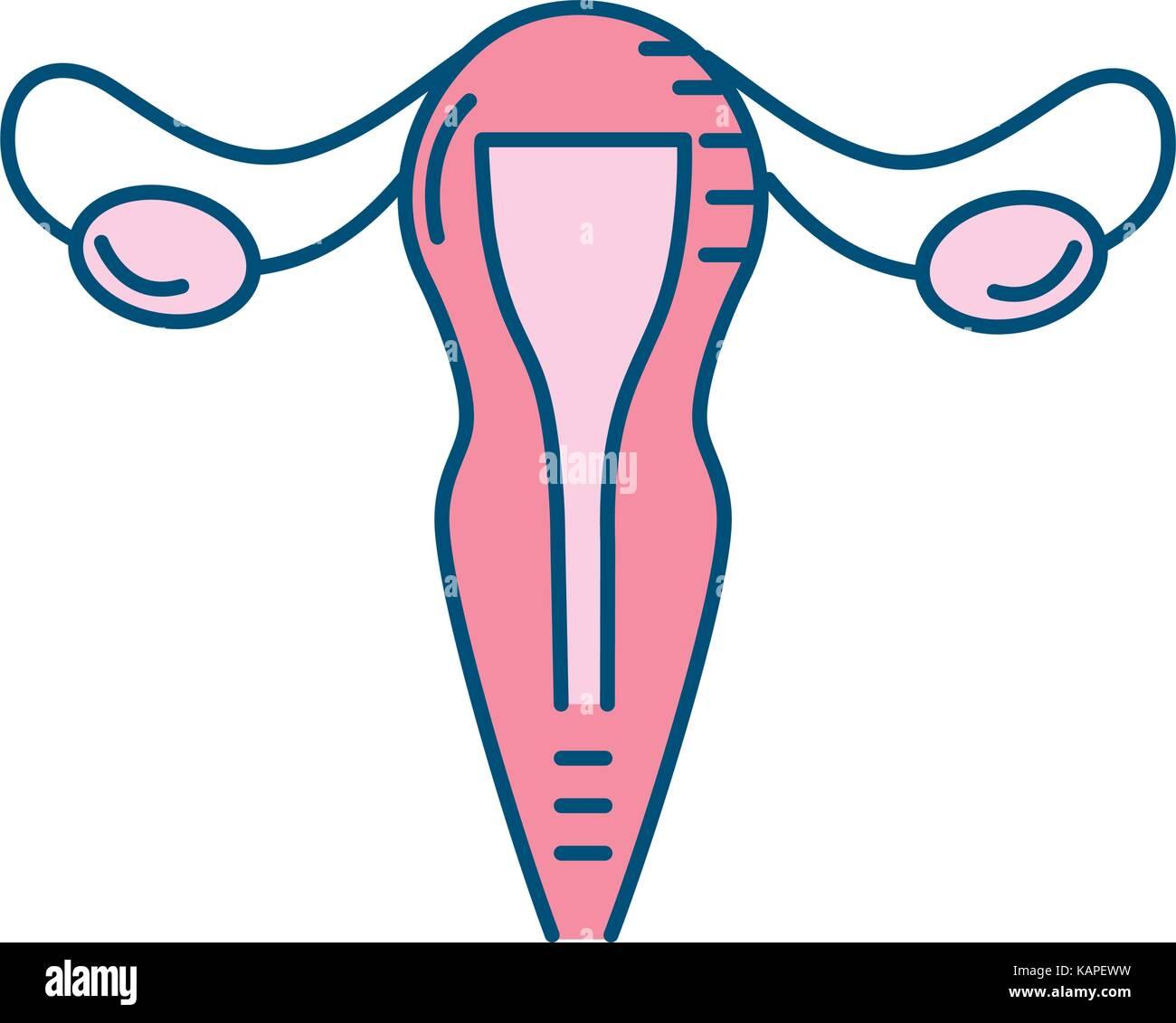 uterus fallopian tubes anatomy female Stock Vector Art ...
