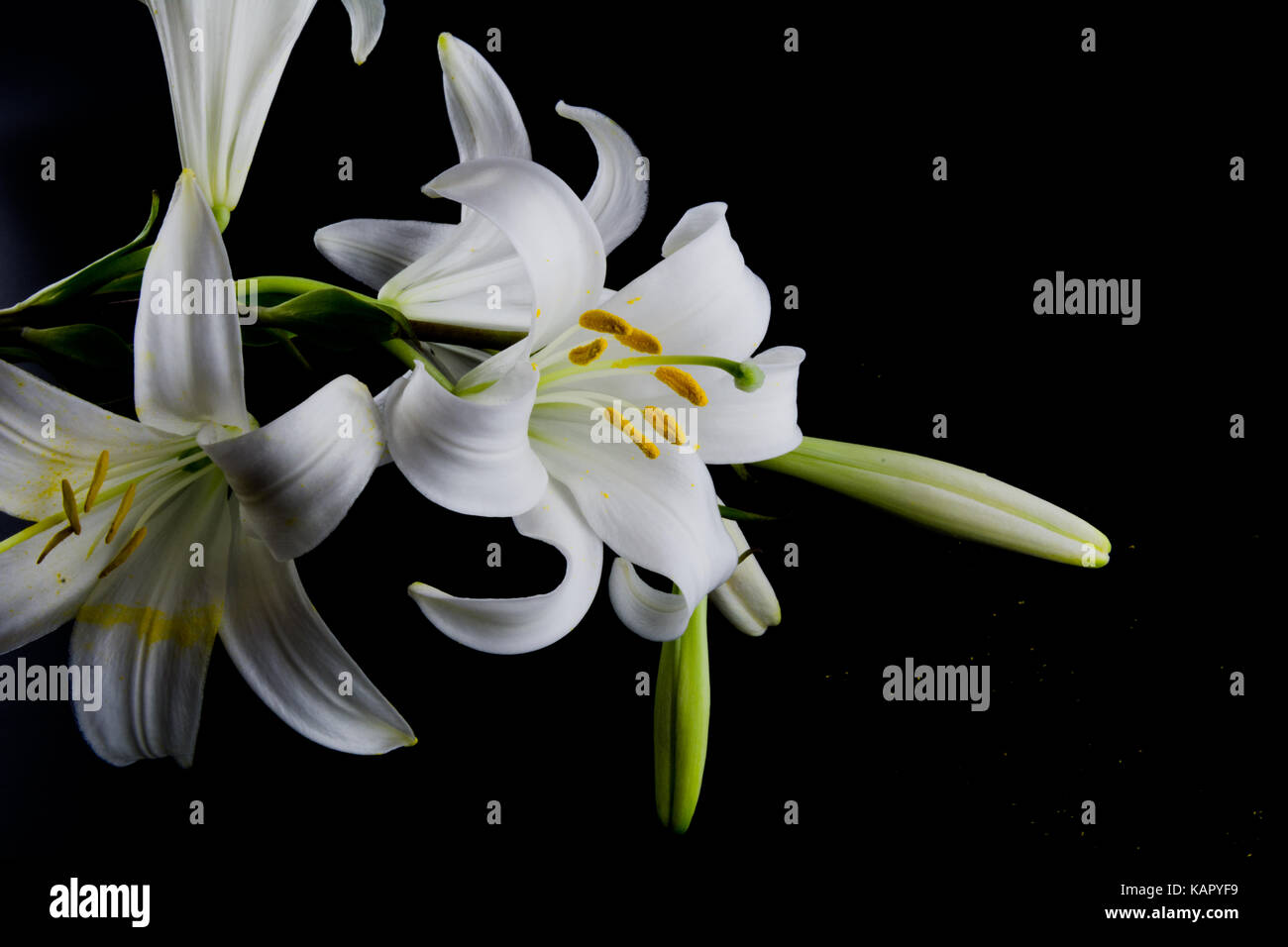 Flowers And Buds Of Lilies On A Black Background Stock Photo