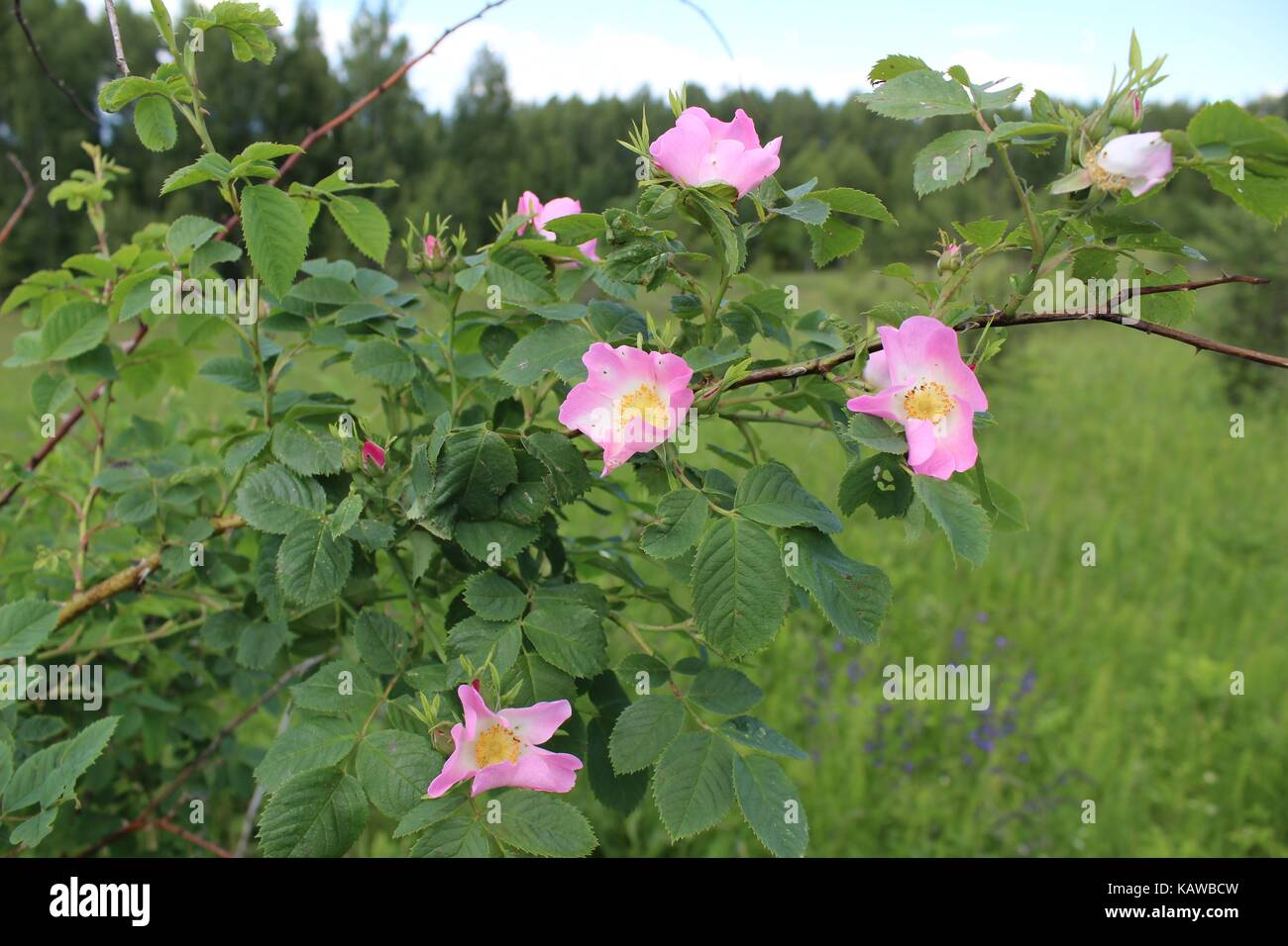 The Wild Rose Dog Rose Bush In The Flowering Stage Large Pink