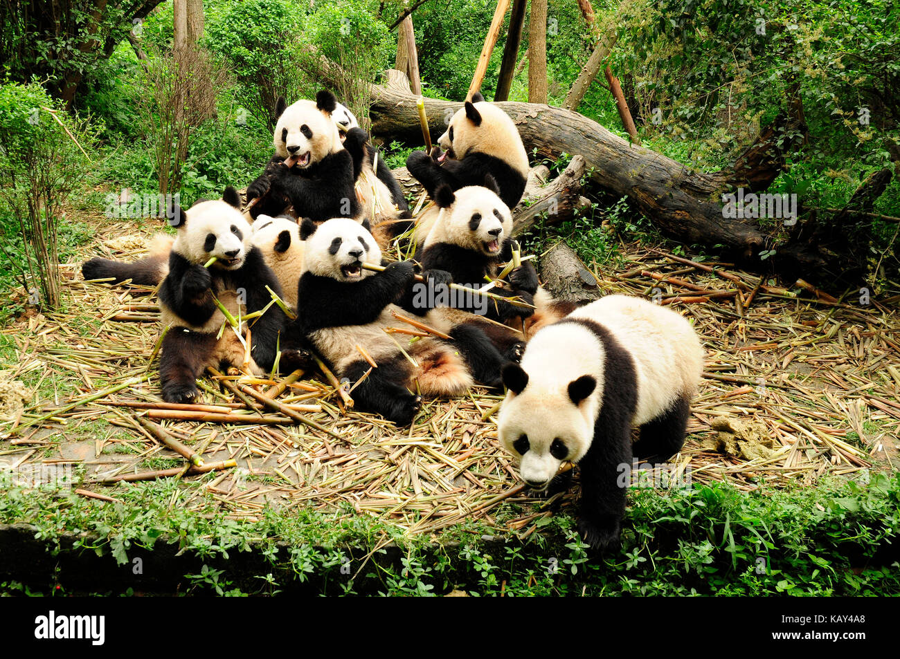 a study on the giant panda An extensive giant panda nature reserve network exists giant pandas are living proof that one study based on research from the qinling mountains.